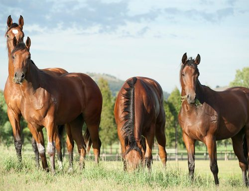 Kia Ora Stud Inglis Easter Treats